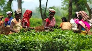Voices from the Tea Plantations