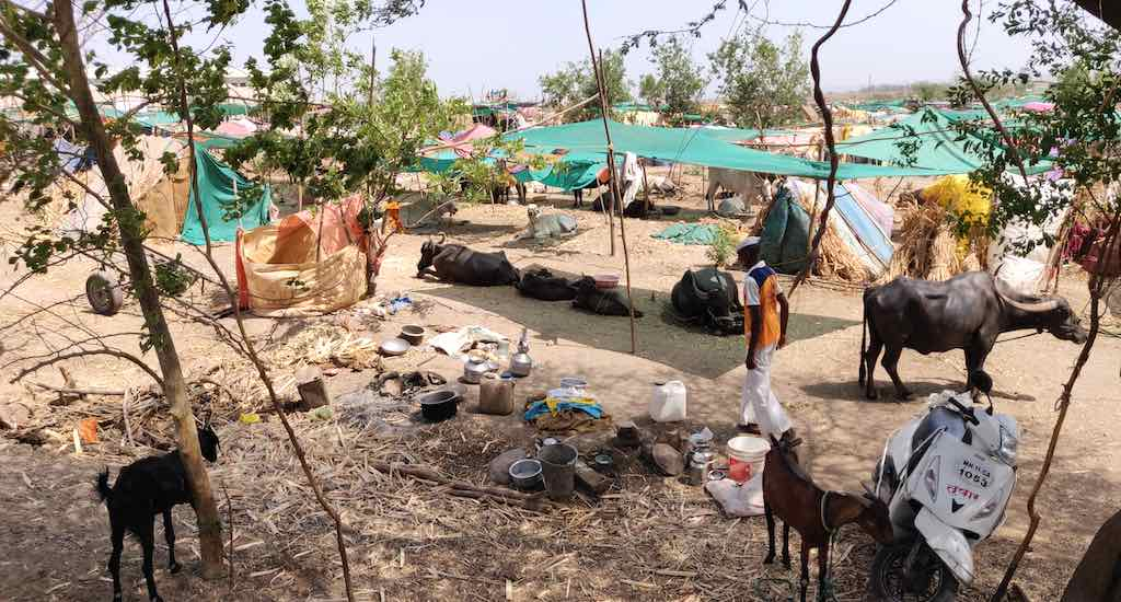 Drought Drives Farmers With Cattle Into Fodder Camps in Maharashtra